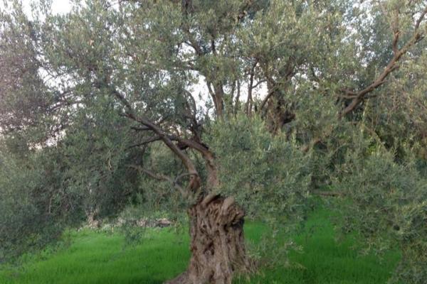 olive-treeB9B0F635-FA88-BAA1-11B0-206B2D9C8712.jpg